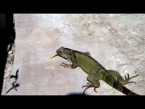 Iguana eating fries – Ponce, Puerto Rico