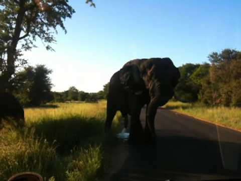 close encounter with elephant in Kruger