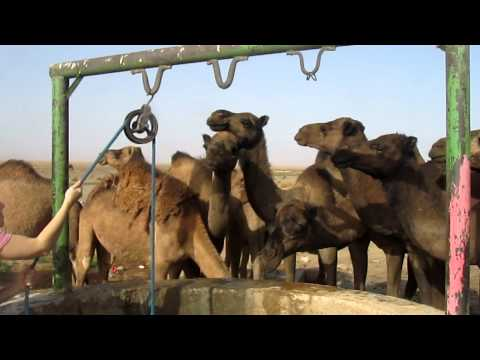 Thirsty Camels in Merzouga, Morocco
