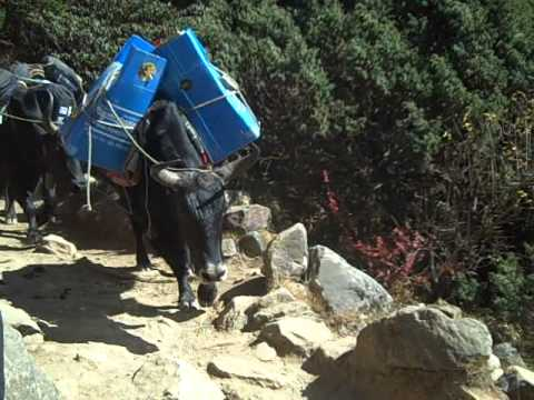 Yak crossing on way to Everest Base Camp – The Adventure Travel Gal
