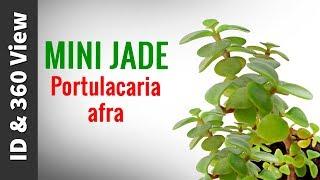 Mini Jade - Portulacaria afra || Succulent ID & 360 View