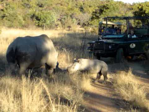 Baby Rhino at Nedile Lodge