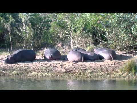 Hippos on the run in St Lucia