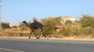 Black Camel near Jodhpur : MP TubeCast