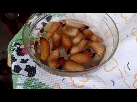Intento de comer un plato de chontacuro en el Tena – Ecuador.