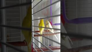 Periquito australiano baila el pollito pio