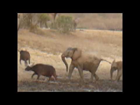 Madikwe elephants and buffalo.wmv