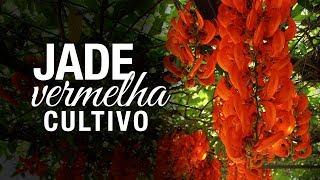 Jade Vermelha: Dicas Simples de Cultivo