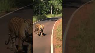 When Death stares you in the face - Majestic Tiger walk @ Tadoba Tiger Reserve - Matkasur
