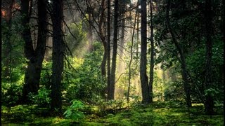 Morning In The Forest | Ambience | HD