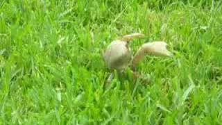 Crab Walking in Grass