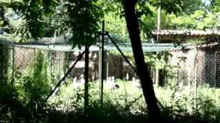 Il canto della cicogna bianca