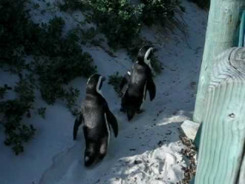 Cape Penguins, Boulders Beach, Simon's Town in South Africa