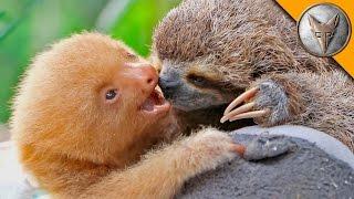 Sloth vs Sloth!