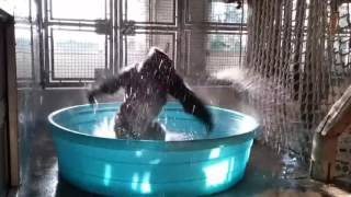 Video: Dallas Zoo gorilla shows off his 'Flash Dance' skills
