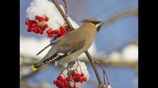 el cant dels ocells..wmv