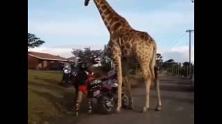 Girafa andando de moto