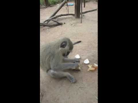 ALEC-Vervet Monkey Foundation