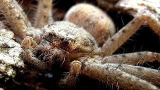 Massive Spider VS Dyson Vacuum