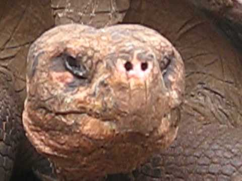 Giant Tortoises in the Galapagos (Part 3)