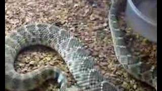 Rattlesnake rattling and Yawning