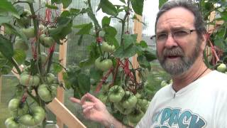 The importance of supporting the Pink Brandy Wine Tomatoes and some reservoir tips :) width=
