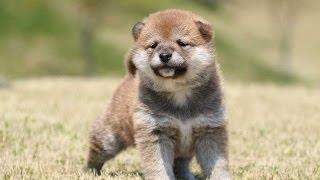2238 shibainu puppy