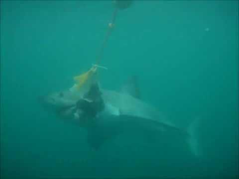 Monster White Shark in Sharkalley!!