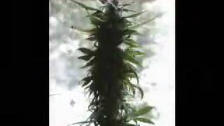Collie Herb Man