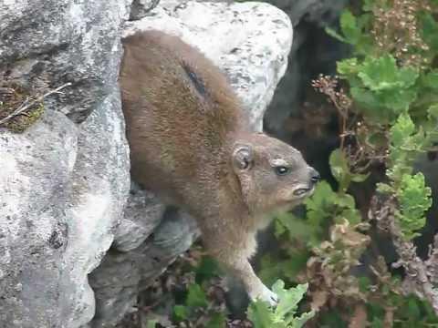 Hyrax on Table Mountain