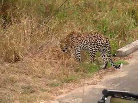Leopard at Kruger