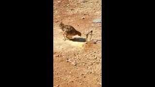 Armadilha de laço testando na galinha
