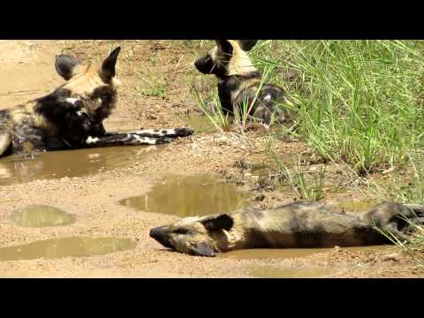 Wild Dogs South Africa 2012 453.MOV