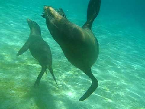 A Taste of Ecuador: Swimming with Seals