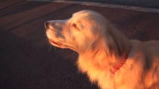 Cachorro Imitando Sirene de Polícia - ( Sem Censura ) - Tente não rir !
