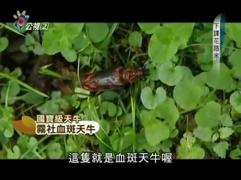 20130219[下課花路米]天牛 - YouTube