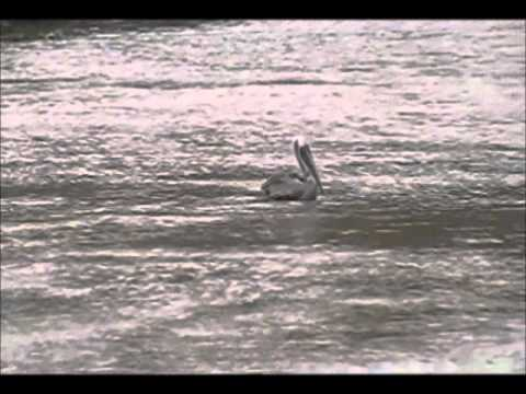 adaptacion de aves en las piscinas de ecuasal y comuna de palmar(Ecuador)