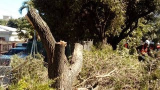 Le «massacre» des arbres à la promenade Roland Armand «outrageant», dit Adi Teelock