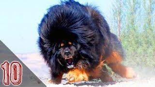 I 10 Cani Più Pericolosi Al Mondo #1