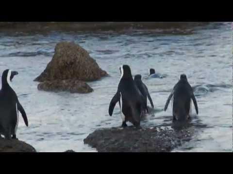 Пингвины ЮАР Мыс Доброй Надежды Pinguines South Africa