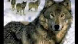 native american   the song of wolf