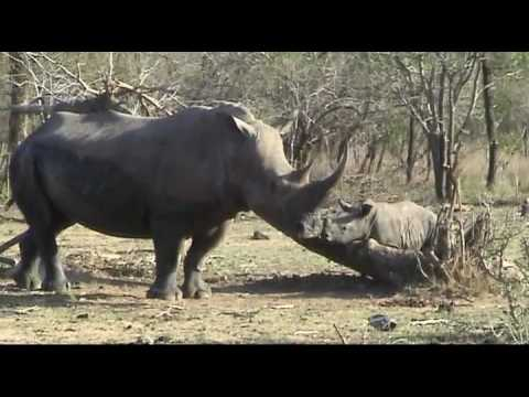 White Rhino with baby – Thornybush Game Reserve, South Africa