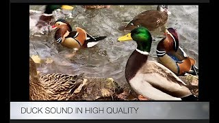DUCK SOUND IN HIGH QUALITY
