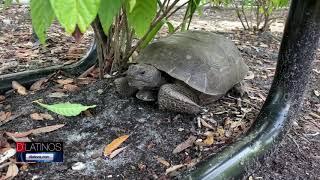 Buscan incluir a una especie de Tortuga en la lista de especies protegidas en Cape Coral