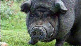Porco cobrindo porca