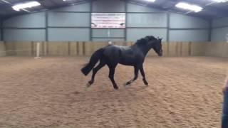 Siraxta Montoya - 3yo stallion (Montender x Douglas VDL) loose trot