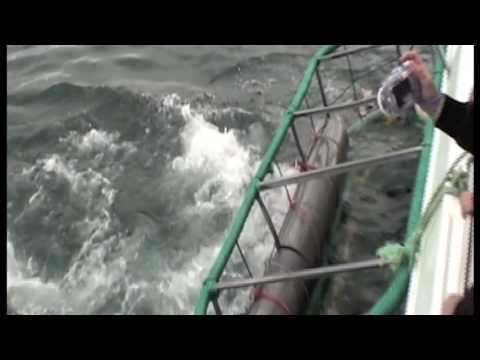 Great White Shark Caged Dive in Gansbaai, South Africa
