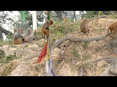 Monkey at Monkey Temple Kathmandu Nepal