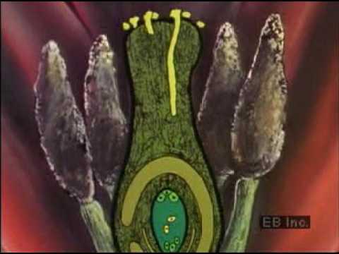 花的受精過程 oflowee002v4 good - YouTube