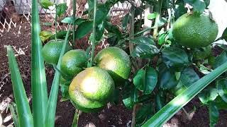 Grow your own Cuties! Seedless Mandarins in Phoenix!